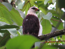Black-and-white Hawk-Eagle John Beer
