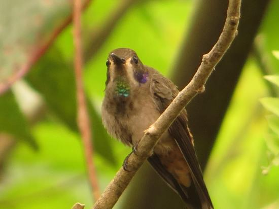 Brown Violetear 2