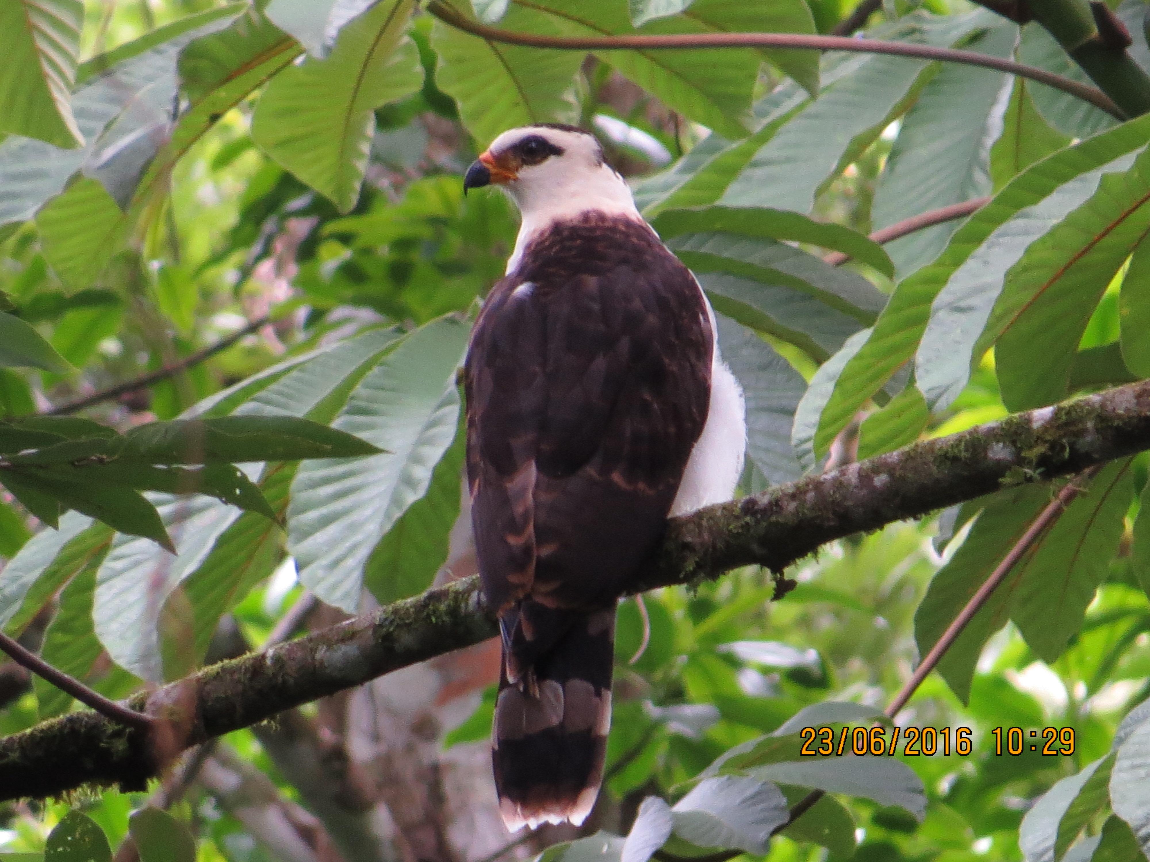 Hawk-Eagle, Black-and White, Bonilla (4)