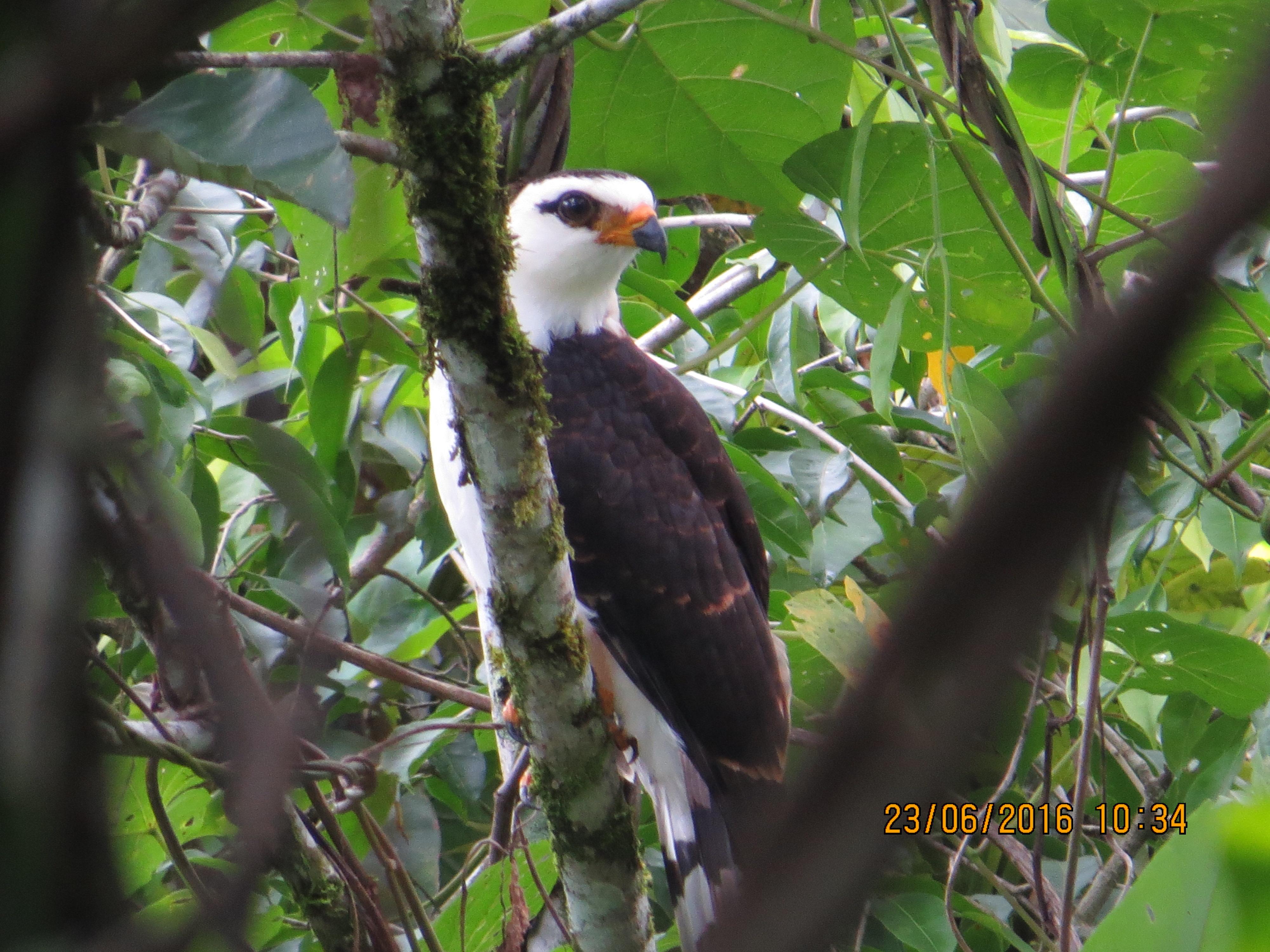 Hawk-Eagle, Black-and White, Bonilla