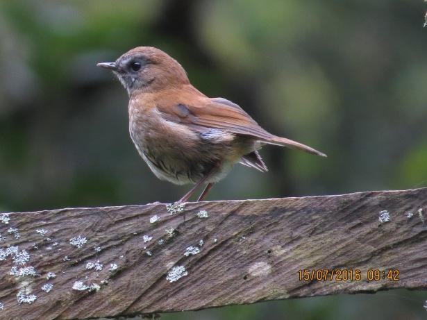 Thrush, Nightingale-, Black-billed, Bajos del Volcan (1)