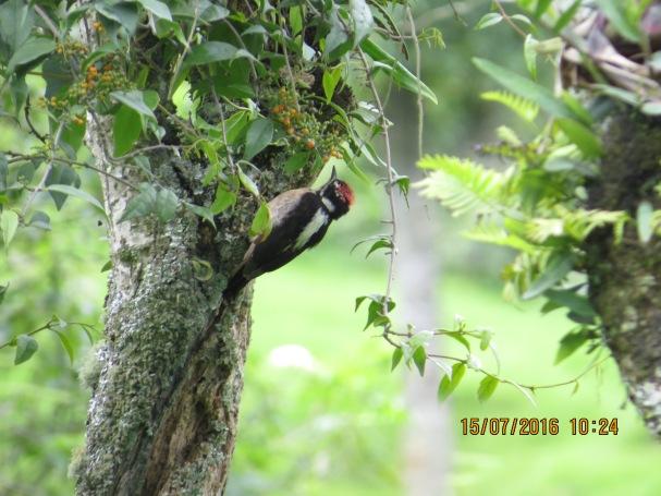 Woodpecker, Hairy, Bajos del Volcan (1)