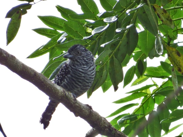 Antshrike, barred male Peralta (1-2)