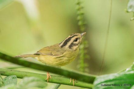 Costa Rican Warbler Asociacion Guillermo Saborio