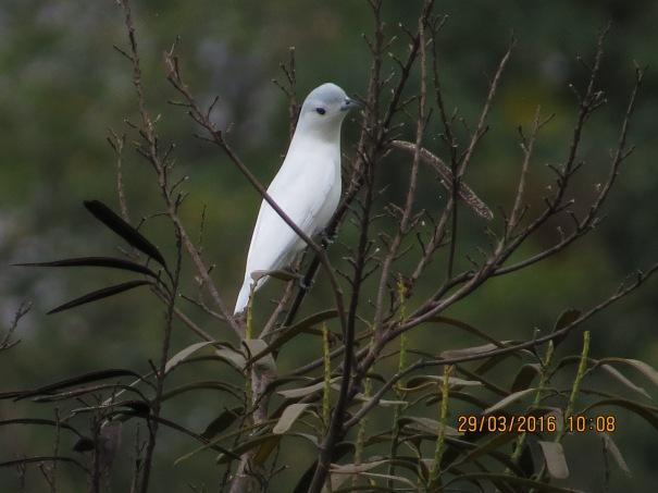 Cotinga, Snowy (male, Peralta) (1)