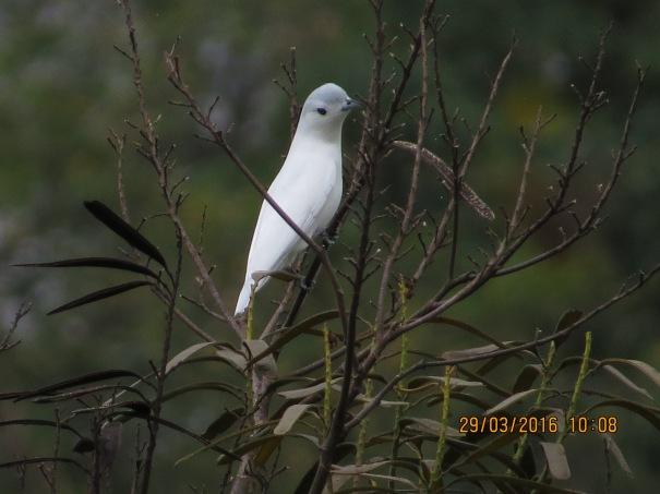 Cotinga, Snowy (male, Peralta) (1)