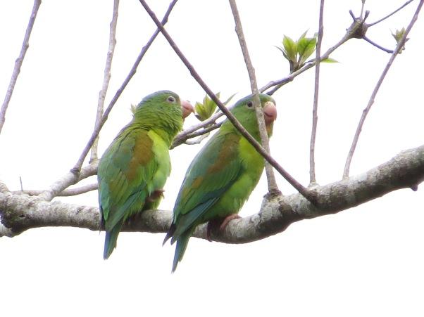 Parakeet, Orange-chinned, Peralta (3)