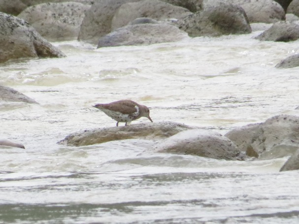 Sandpiper, Spotted, breeding plumage Peralta