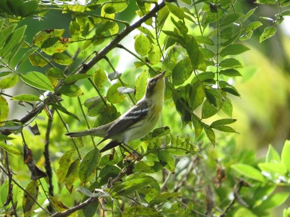 Warbler, Blackburian (juvenile; CATIE).JPG