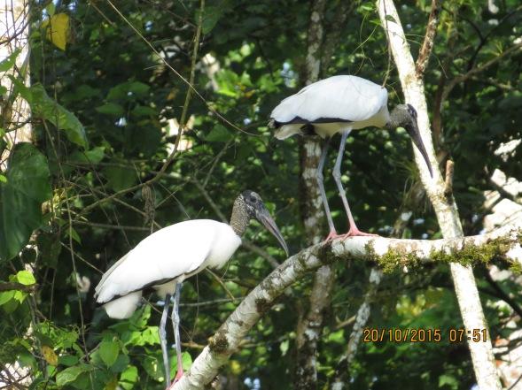 Wood Stork (CATIE)