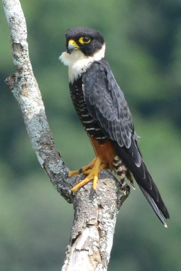 bat-falcon-erick-rojas-pelon-asociacion