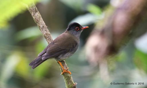 black-headed-nightingale-thrush-guillermo-saborio-asociacion