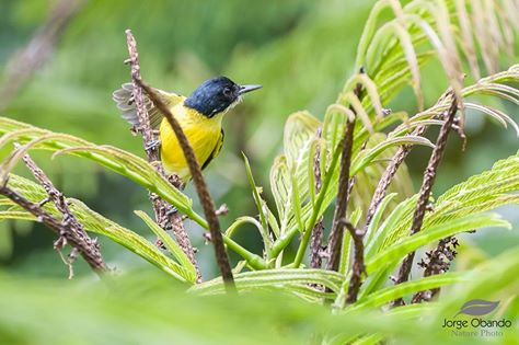 black-headed-tody-flycatcher-jorge-obando-asociacion