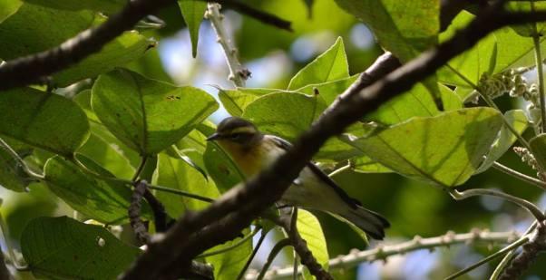 cerulean-warbler-fem-jeffrey-ortegaasociacion