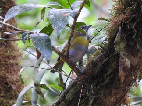 Ashy-throated Chlorospingus