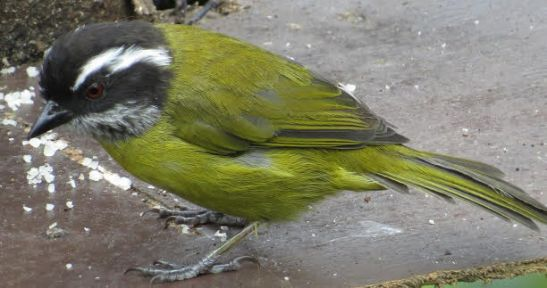 chlorospingus-sooty-capped-dota
