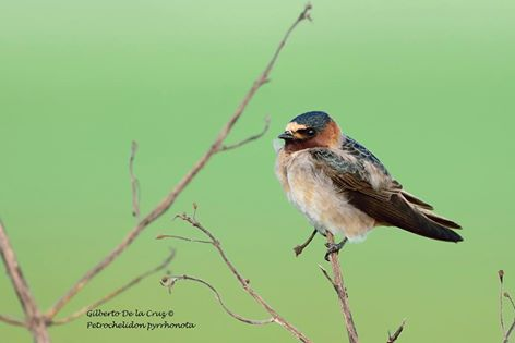 cliff-swallow-gilberto-de-la-cruz-asociacion