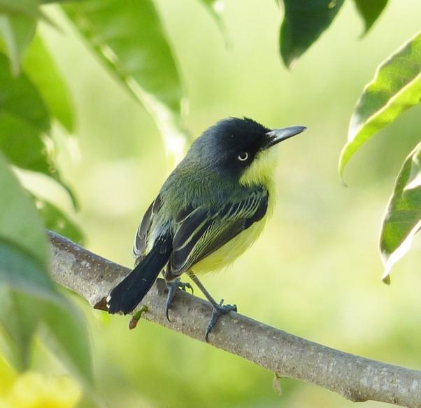 common-tody-flycatcherkim