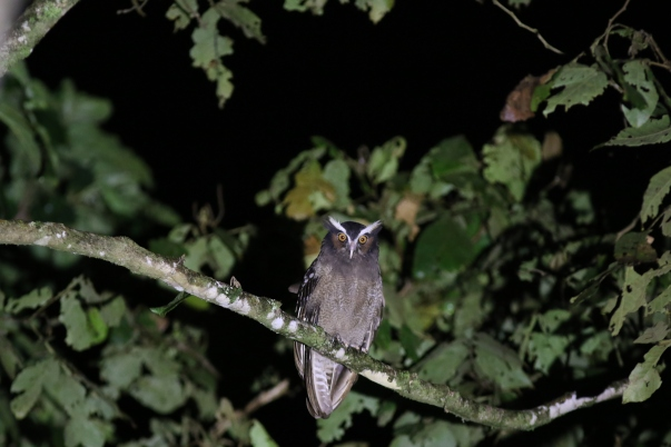 crested-owl-andres