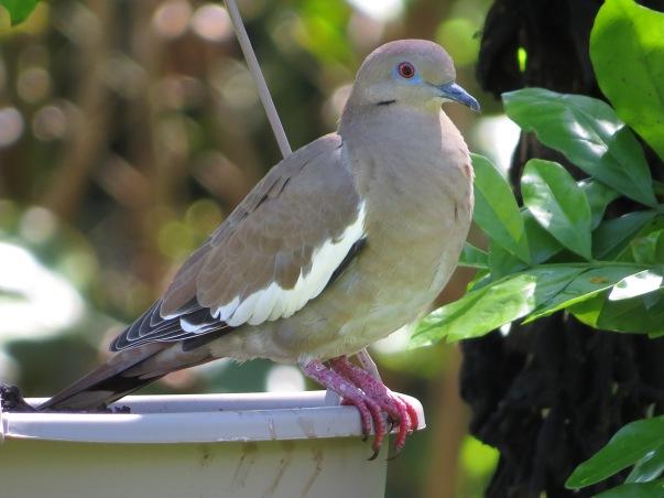 dove-white-winged-ujarras-1