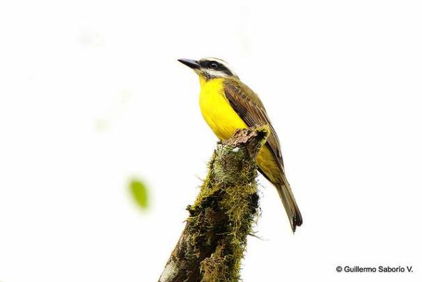 golden-bellied-flycatcher-guillermo-asociacion