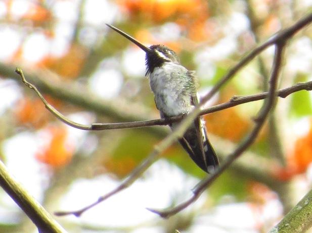 hummingbird-starthroat-long-billed-aquiares-3