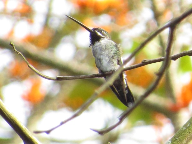 hummingbird-starthroat-long-billed-aquiares-3
