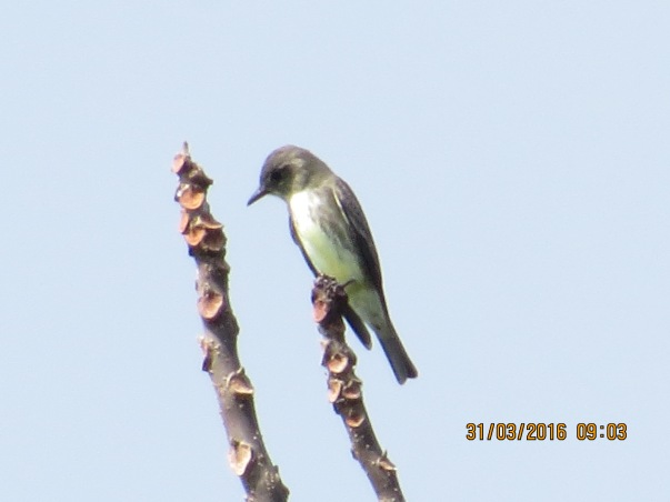 olive-sided-flycatcher-john-beer-reventazon