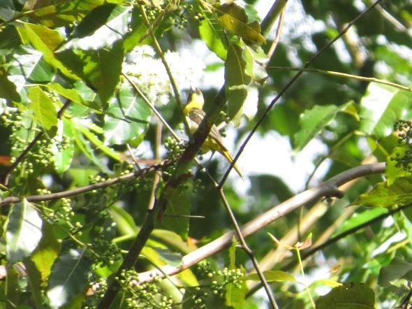 oriole-orchard-male-juv-ujarras