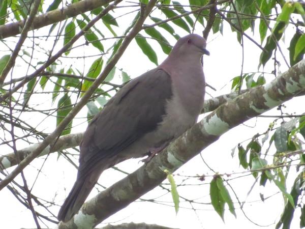 Pigeon, Short-billed, San Rafael, Pavones (4)