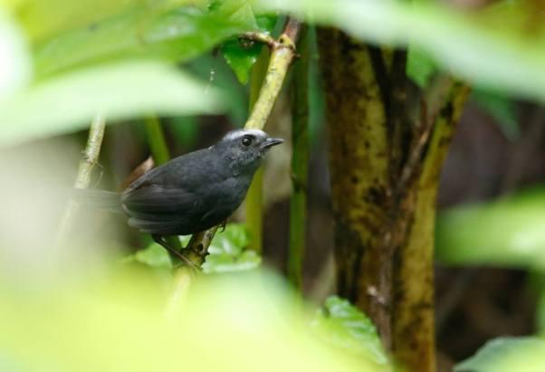 silvery-fronted-tapaculo-arnoldoasociacion