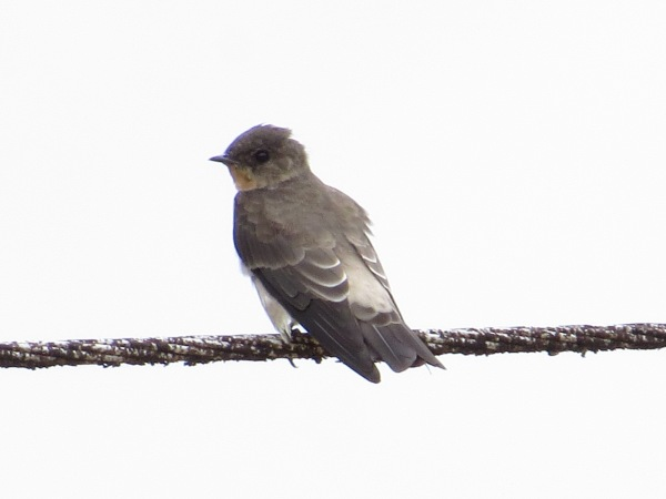 swallow-southern-rough-winged-peralta