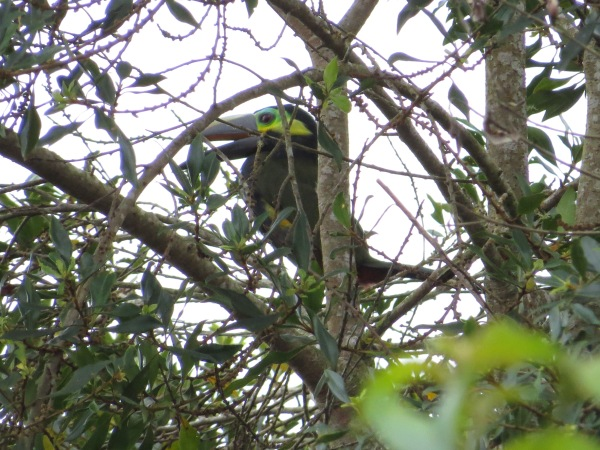 Toucanet, Yellow-eared male San Rafael, Pavones (1)