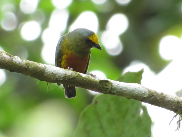 euphonia-olive-backed-male-bonilla-1