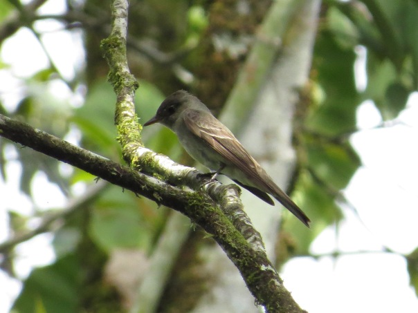 flycatcher-wood-pewee-eastern-bonilla