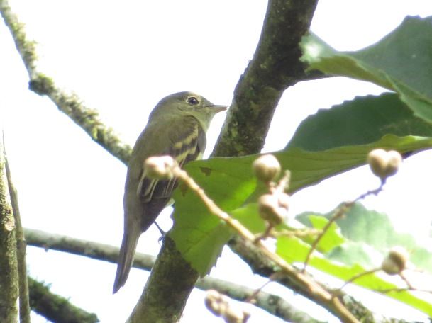 flycatcher-yellow-bellied-bonilla