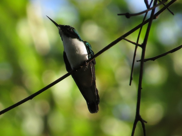 hummingbird-fairy-purple-crowned-bonilla