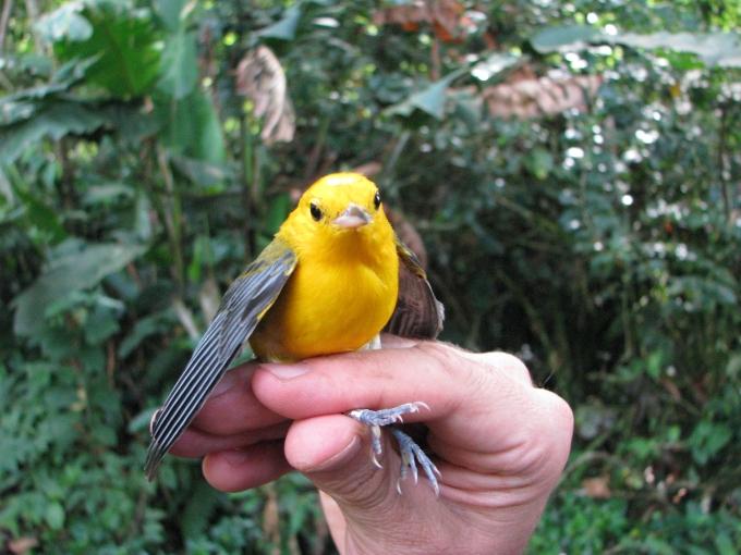 prothonotary-warbleralan