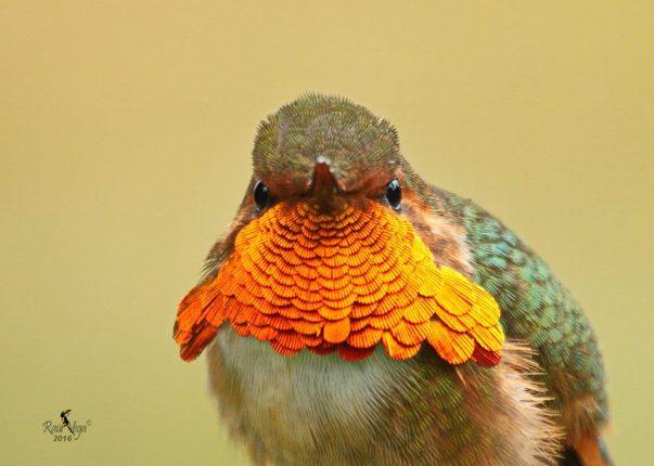 scintillant-hummingbird-raul-vega-asociacion-ornitologica