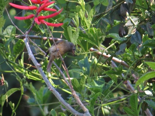 flycatcher-ochre-bellied-murcia
