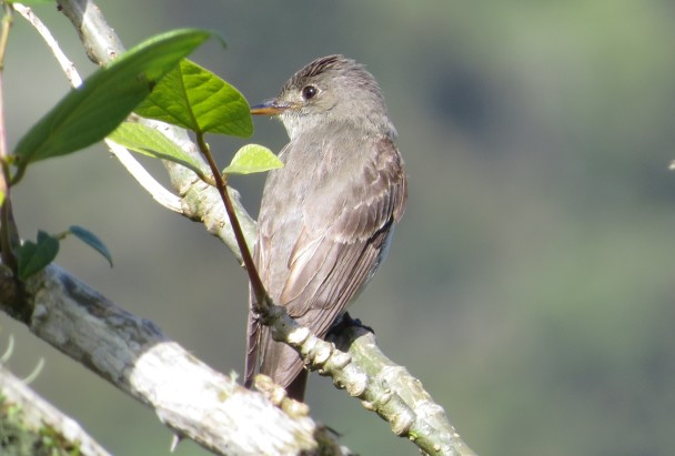 flycatcher-wood-pewee-eastern-santa-cristina-la-suiza-4cropped