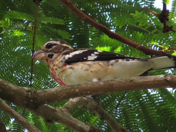 grosbeak-rose-breasted-aquiares10