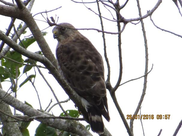 hawk-broad-winged-aquiares-1