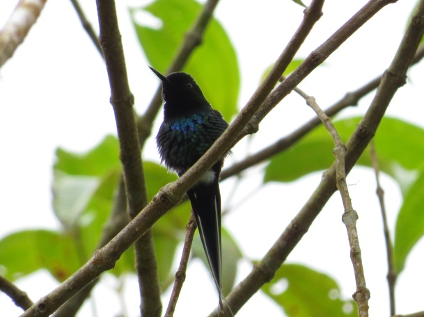 hummingbird-green-thorntail-male-santa-cristina-la-suiza-41