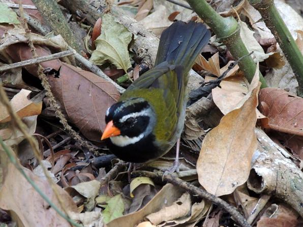 orange-billed_sparrow_b