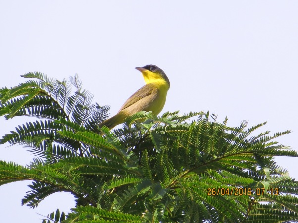 warbler-yellowthroat-gray-crowned-male