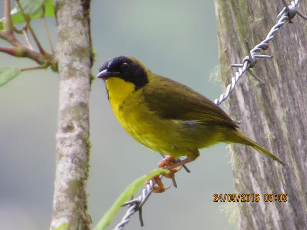 yellow-throat-olive-crowned-male-cristina-la-suiza-1000-masl-1