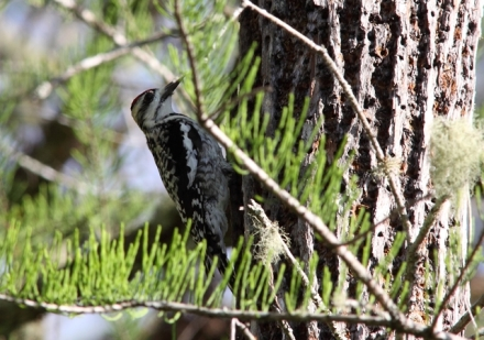 245-yellow-bellied-sapsucker-fem-florida-3