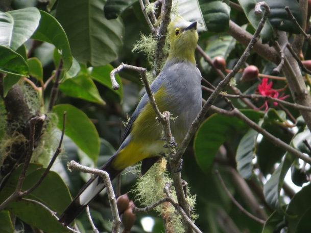 silky-flycatcher-long-tailed-san-gerardo-de-dota-1