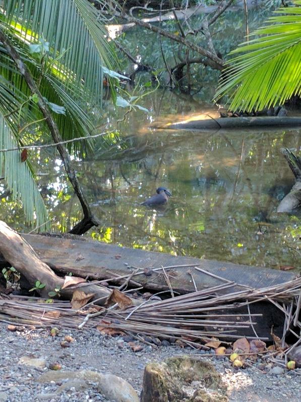 boat-billed-heron-at-kelly-creek